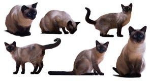 Set Syjamscy koty Fotografia Royalty Free