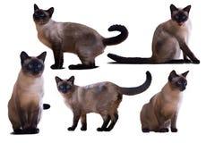 Set Syjamscy koty, odizolowywający na bielu Fotografia Royalty Free