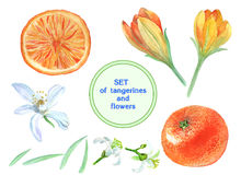 Set of tangerines and flowers royalty free illustration