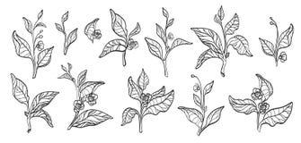 Set of tea bush branches. Vector. Realistic. Set of tea bush branches with leaves and flowers on white background. Botanical contour illustration. Realistic royalty free illustration