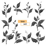 Set of tea bush branches. Vector black silhouette  on white background Royalty Free Stock Photos