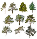 Set of ten coniferous trees isolated on white. Background Stock Images