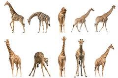 Set of ten giraffe portraits Stock Images