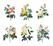 Set of various roses | Antique Flower Illustrations. Set of 19th century illustrations of Rosa centifolia, Yellow rose, Tea rose, Rose Adelaide d`Orleans, Rose Stock Photos