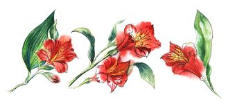 Set of thre Flower banch of red Alstroemeria, big blooming blossom, small bud, huge green leaf. Hand drawn watercolor vector illustration
