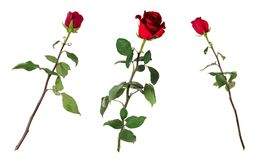 Set of three beautiful vivid red roses on long stems with green leaves isolated on white background. Flowers are shot at different angles, includung side and Stock Photos