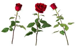Set of three beautiful vivid red roses on long stems with green leaves isolated on white background. Front and side view stock image
