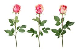 Set with bicolour roses. As design elements. Royalty Free Stock Photos