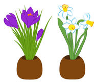 Set of three blue narcissus and purple crocus flower in pots. Flat illustration isolated on white background. Vector illustration. Set of three blue narcissus Royalty Free Stock Images