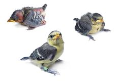 Set of three Blue Tit nestlings isolated. Three nestlings of different age isolated. Banded on right tibia Royalty Free Stock Image