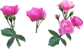 Set of three bright pink roses Stock Photos