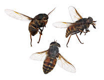 Set of three brown stripped flies isolated on white Stock Photography