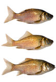 Set of three crucian carps Royalty Free Stock Images