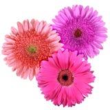 Set of three flowers isolated on white background. Close-up. Studio photography Stock Photos