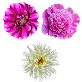 Set of three flowers isolated on white background Stock Images