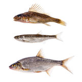 Set of three freshwater fishes on white Royalty Free Stock Image
