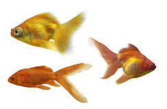 Set of three goldfishes isolated on white Royalty Free Stock Images