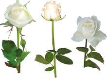 Set of three isolated rose flowers Royalty Free Stock Image