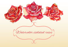 Set of three isolated roses in watercolor high Stock Photos