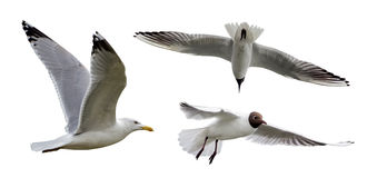 Set of three isolated seagulls Royalty Free Stock Photography