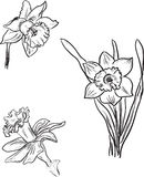 Set of three narcissus flowers sketches Royalty Free Stock Images
