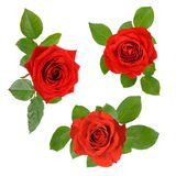 Set of three open red roses with leaves Royalty Free Stock Photo