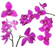 Set of three petals pink orchids Royalty Free Stock Photo