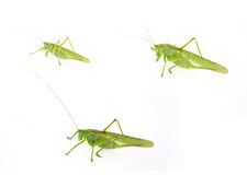 Set of three photos of a large green grasshopper on a white back Stock Images