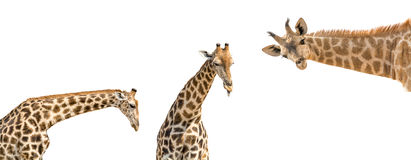 Set of three photos of upper half giraffe body isolated on white Stock Photos