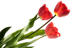 Set of three red color tulips isolated on white background Royalty Free Stock Photo
