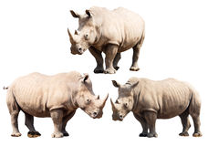 Set of Three Rhinoceros Isolated on a White Background. With clipping part. Stock Photography