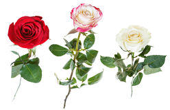 Set from three rose flowers isolated on white Stock Photos