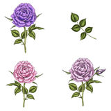 Set with three rose flowers, leaves and stems isolated on white background. Botanical  illustration Stock Photos