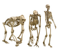 Set of three skeletons isolated on white Royalty Free Stock Photography