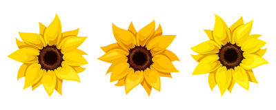 Set of three sunflowers. Vector illustration. Vector set of three orange and yellow sunflowers isolated on a white background Stock Images
