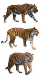 Set of three tigers isolated on white Stock Image