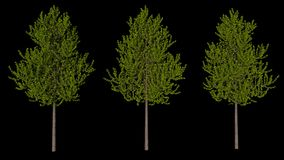 Set of three trees with black background, isolated 3D render Stock Image