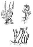 Set of three wild herbs sketches isolated on white Royalty Free Stock Images