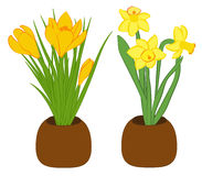 Set of three yellow narcissus and yellow crocus flower in pots. Flat illustration isolated on white background. Vector illustratio Royalty Free Stock Images