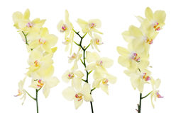 Set of three yellow orchid isolated branches Stock Photography