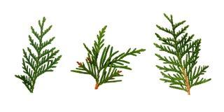 Set of thuja twigs Royalty Free Stock Image