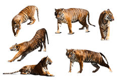 Set of tigers. Isolated  over white background Stock Photography
