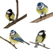 Set of four tits isolated on white royalty free stock photos