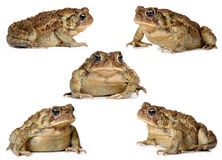 Set of toads isolated Stock Image