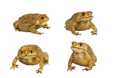 Set of toads Isolated Royalty Free Stock Images
