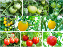 Set of Tomatoes growing (green, yellow, red) Stock Photography