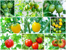Set of Tomatoes on tomato plant. Set of Tomatoes growing on tomato plant (green, yellow, red Stock Photography