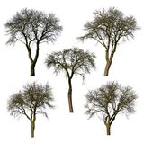 Set of trees without leaves. Royalty Free Stock Photo