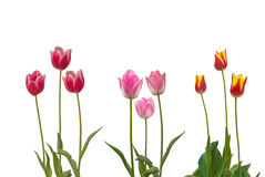 Set Triumph group tulips  sorts Stock Photos