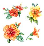 A set of tropical flowers, orange and yellow hibiscus